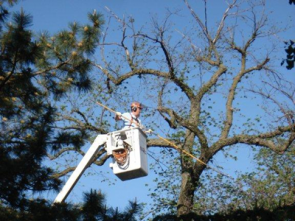 Man in a cherry picker trimming trees
